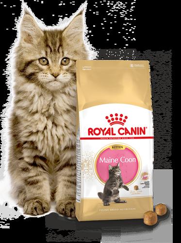 Kačių maistas Royal Canin Maine Coon Kitten 10kg.